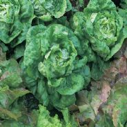Lettuce All Year Round - 4000 seeds / 8000 seeds